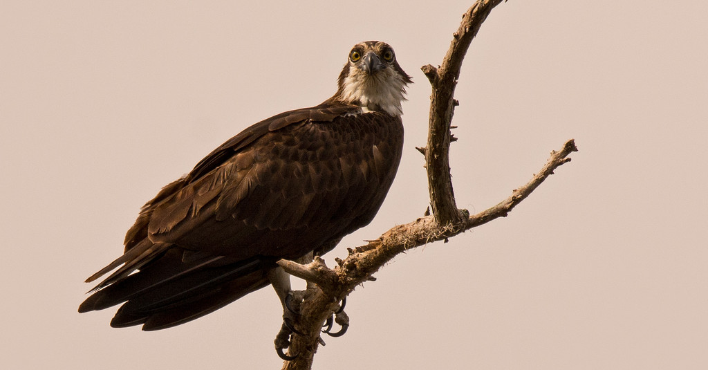 Mom Osprey, Watching Over the Nest and Watching Dad, Bringing in Breakfast! by rickster549