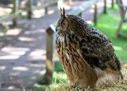 11th Jun 2019 - Eurasian eagle-owl