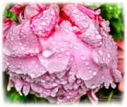 12th Jun 2019 - Rain-Soaked Peony