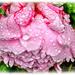 Rain-Soaked Peony by carolmw