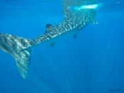 11th Jun 2019 - Whale Shark