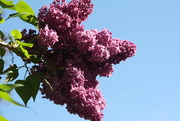 12th Jun 2019 - Lilac and blue sky