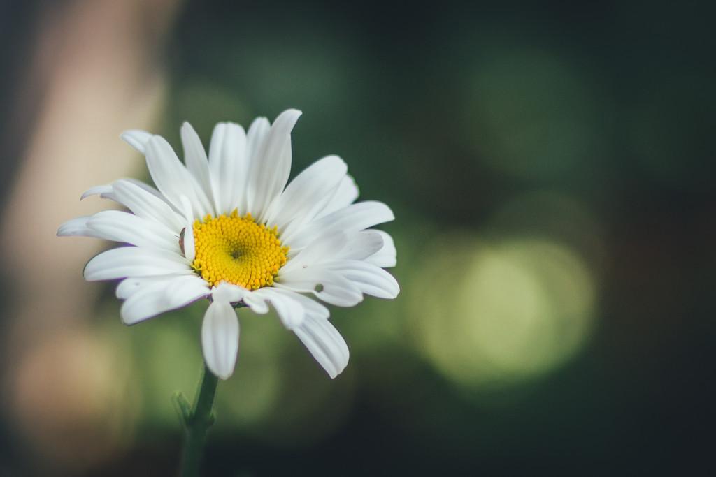 First Daisy by mamazuzi