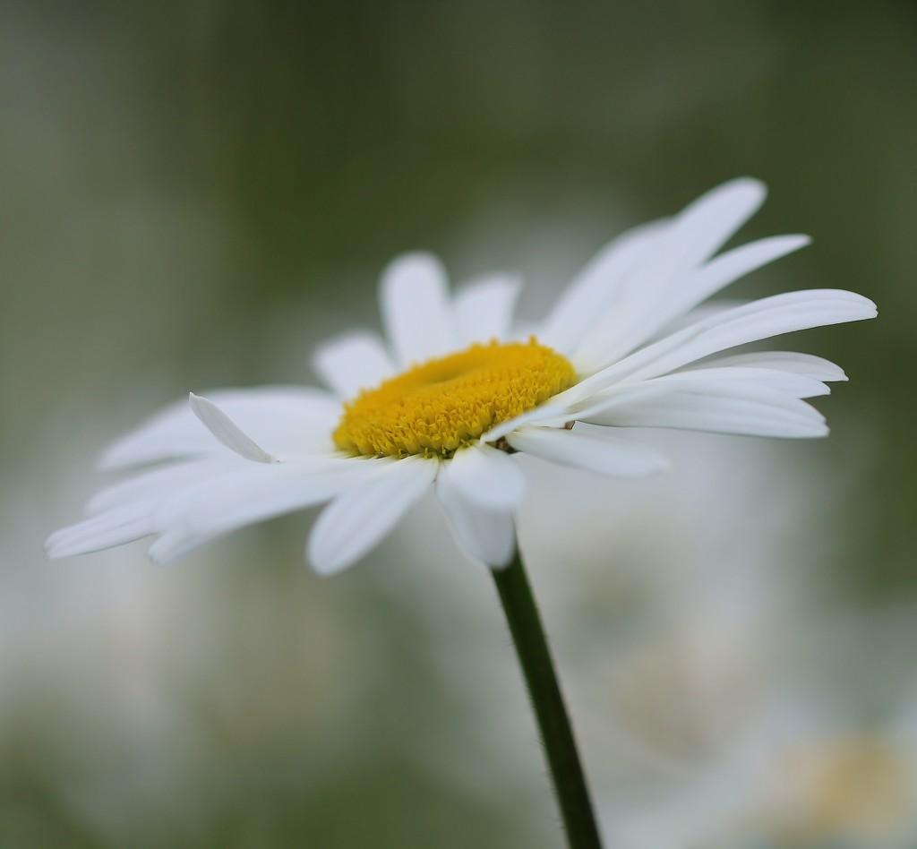 Daisy Days 1 by motherjane