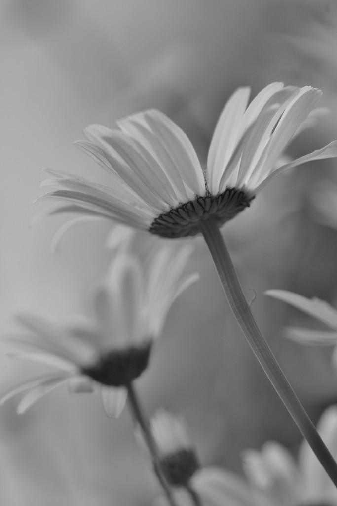Daisy Days 2 by motherjane