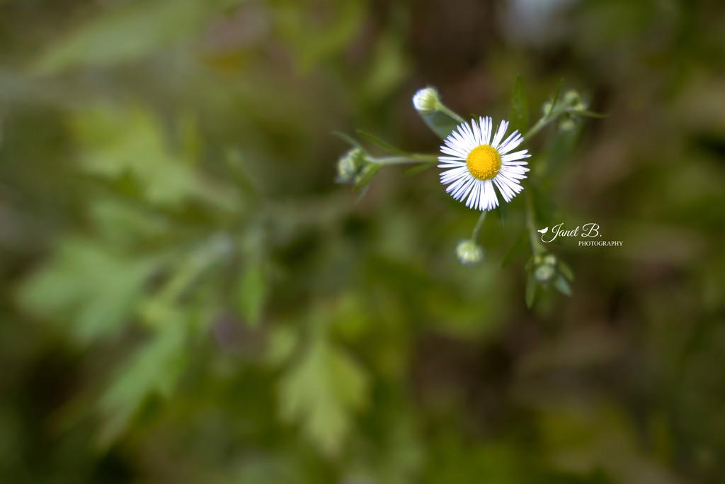 Daisy Fleabane by janetb
