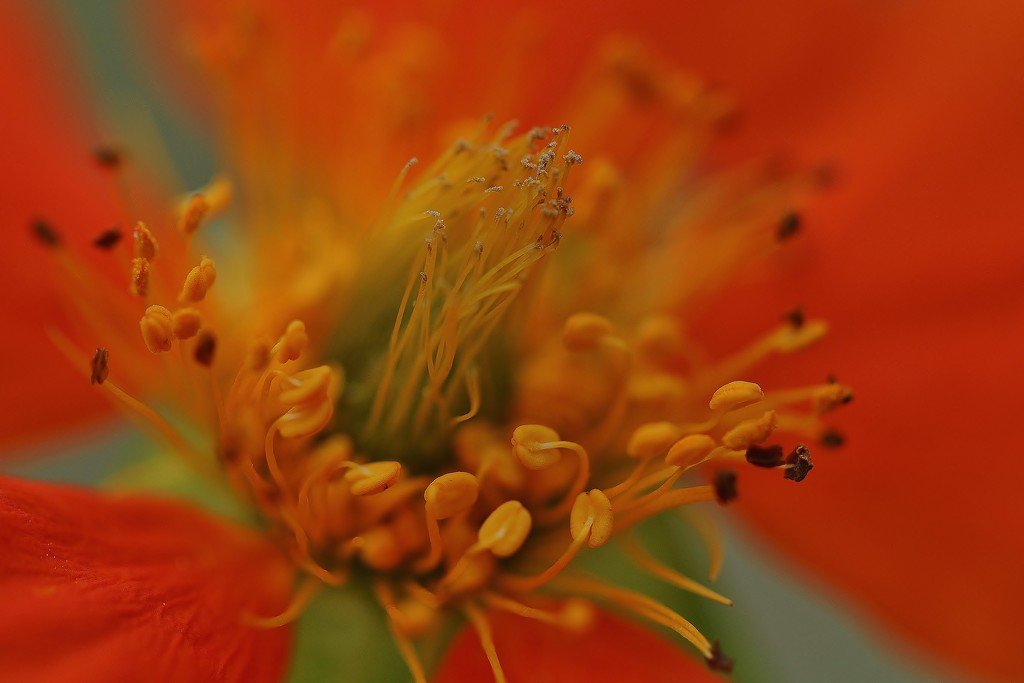 Orange Geum by motherjane