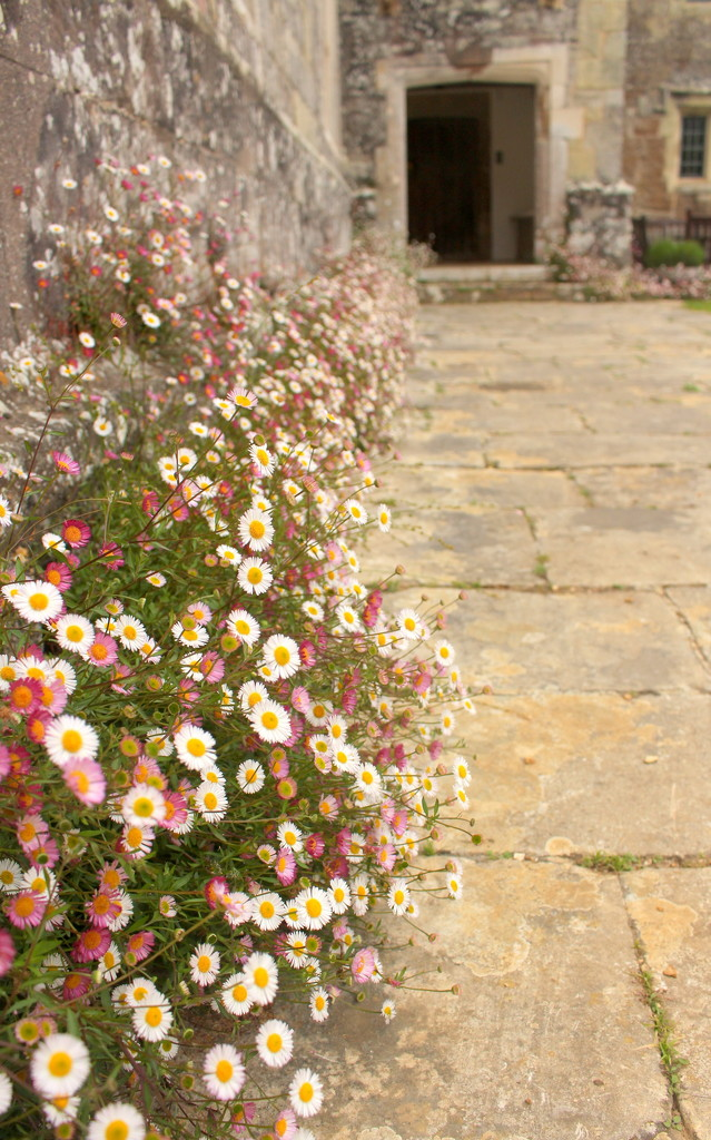 Mexican fleabane at Mottistone Gardens by boxplayer