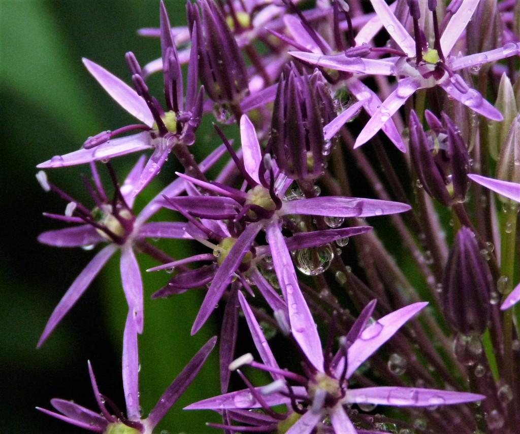 Allium in the Rain by 30pics4jackiesdiamond