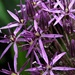 Allium in the Rain
