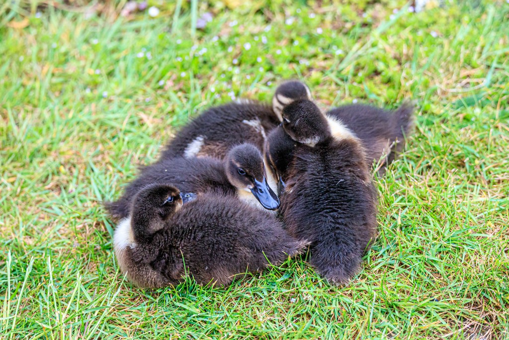 Duckling Huddle by padlock