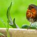 Rob The Robin by tonygig