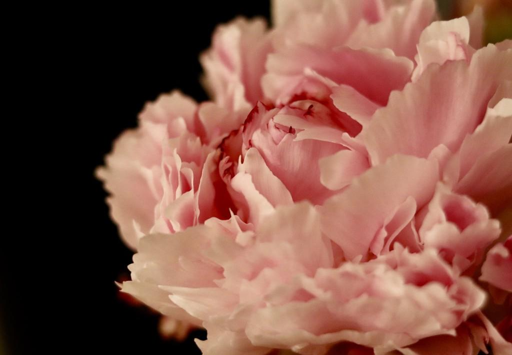 Pink Peony by carole_sandford