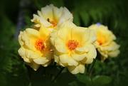 12th Jun 2019 - Roses of our garden (4)