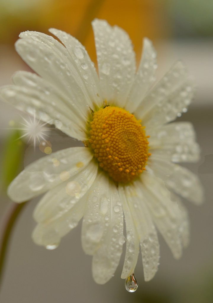 Daisy Drops by fbailey