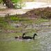 Ducks take to water