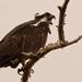 One More Osprey Shot!