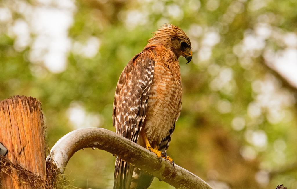 Red Shouldered Hawk Drying Out! by rickster549