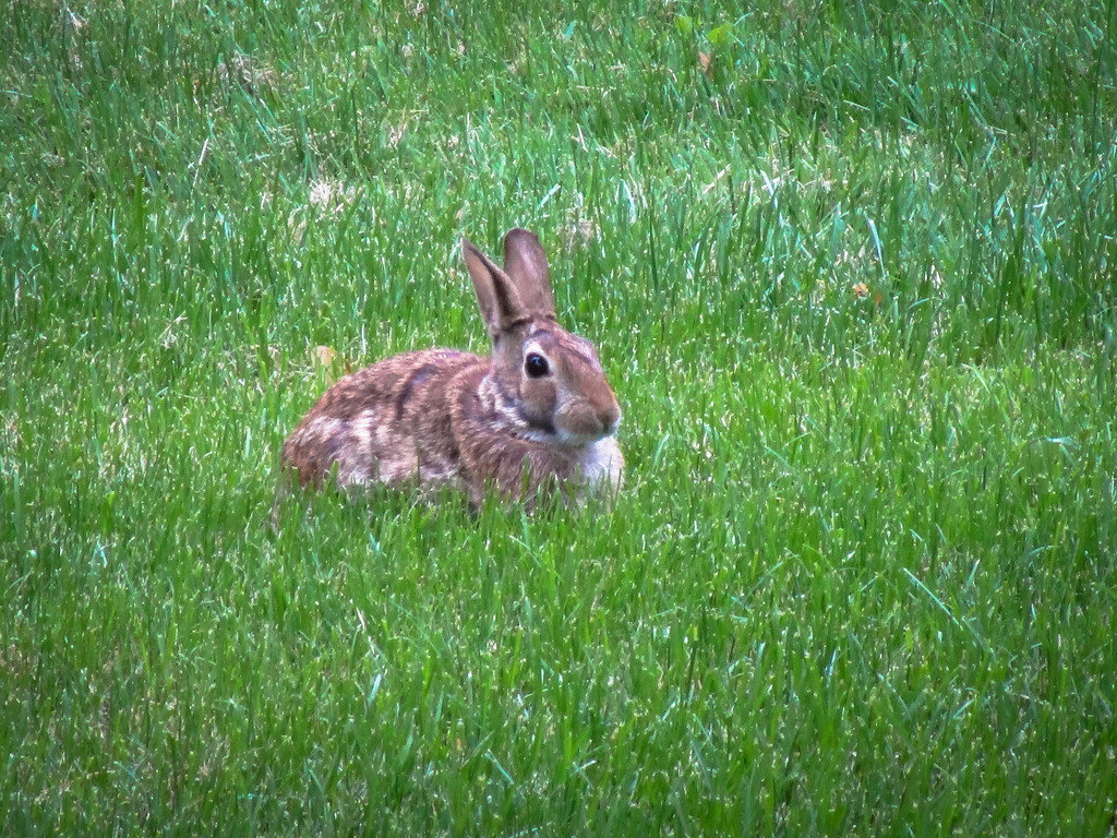 Bunny in the yard by mittens