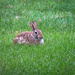 Bunny in the yard