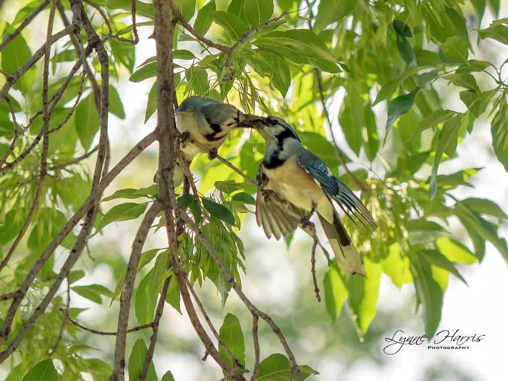 Blue Jays by lynne5477