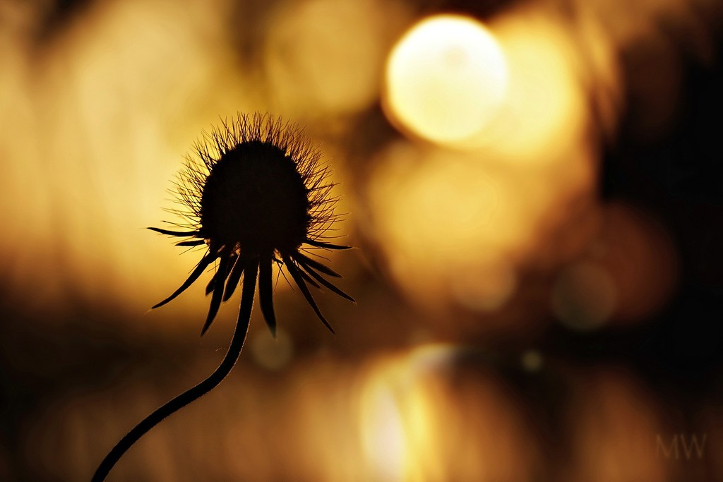 2019-06-13 scabiosa at sunset by mona65