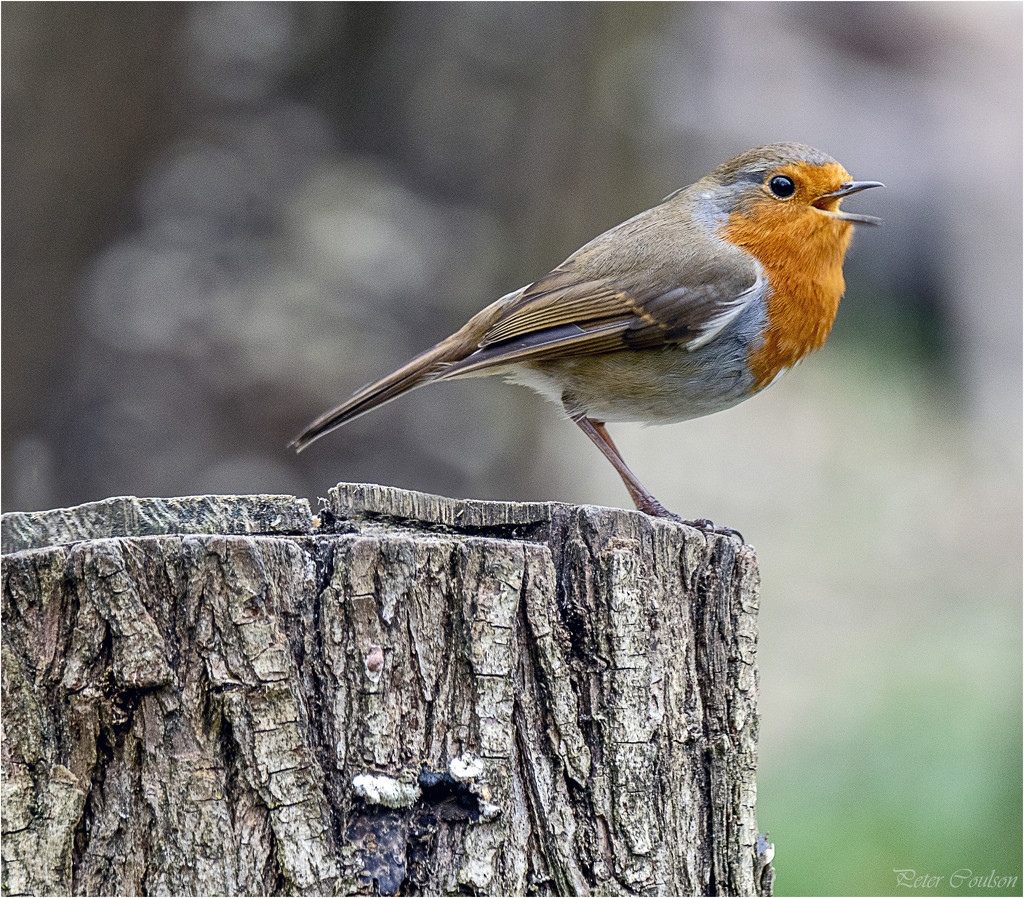 Robin No3 by pcoulson