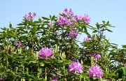 14th Jun 2019 - rhododendrons