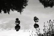 12th Jun 2019 - Ducks B&W