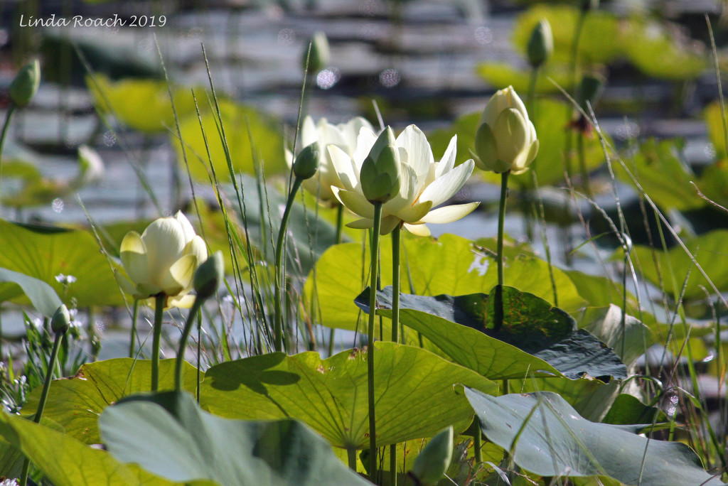 Water Lilies on Lake Weatherford  by grannysue