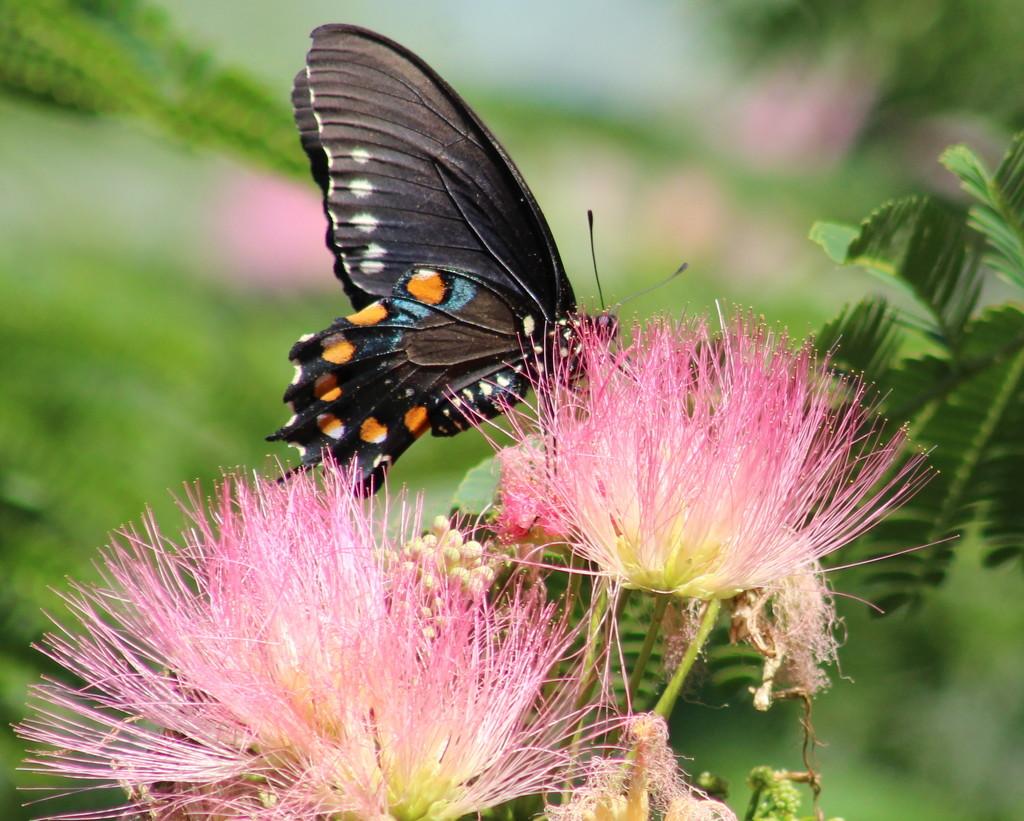 Spicebush Swallowtail by cjwhite