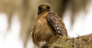 13th Jun 2019 - Red Shouldered Hawk Giving Me the Eye!