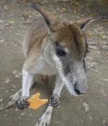 2nd Jun 2019 -  Small Kangaroo eating sweet potato