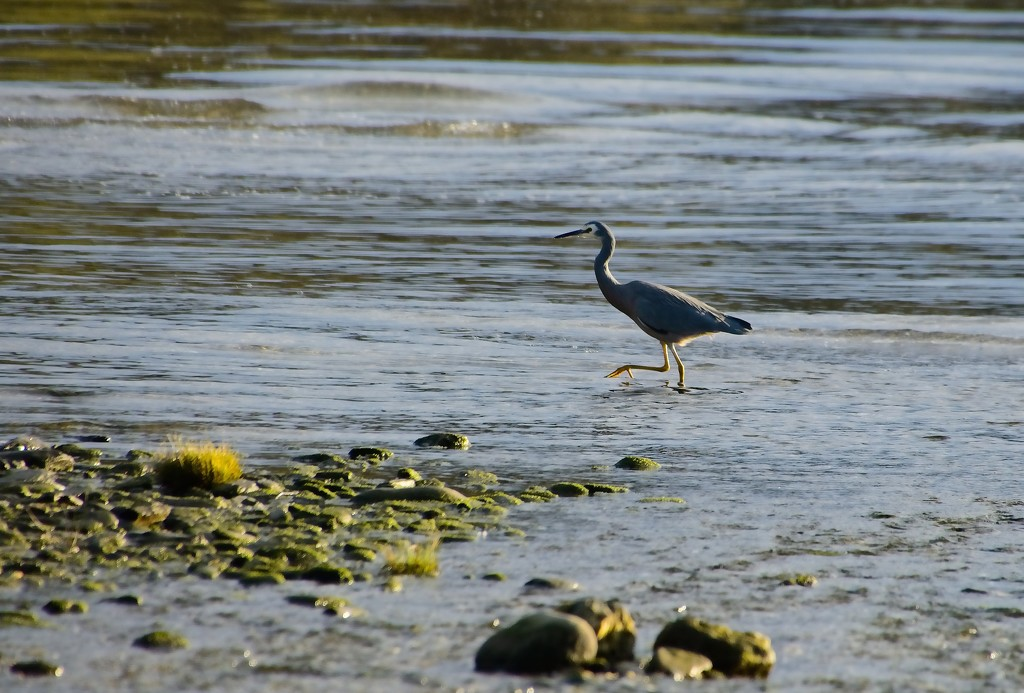 Heron stepping out by kiwinanna