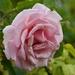 Still Blooming_DSC7027