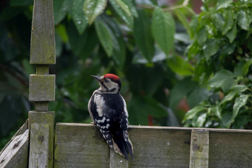 Spotted Woodpecker by hobgoblin