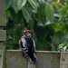 Spotted Woodpecker by hobgoblin
