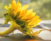 14th Jun 2019 - sunflower