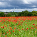 Poppies! by rjb71
