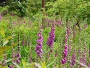 14th Jun 2019 -  Foxgloves at Leonardslee Gardens