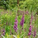 Foxgloves at Leonardslee Gardens