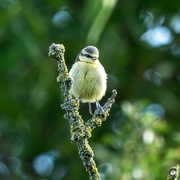 14th Jun 2019 - Young Blue Tit