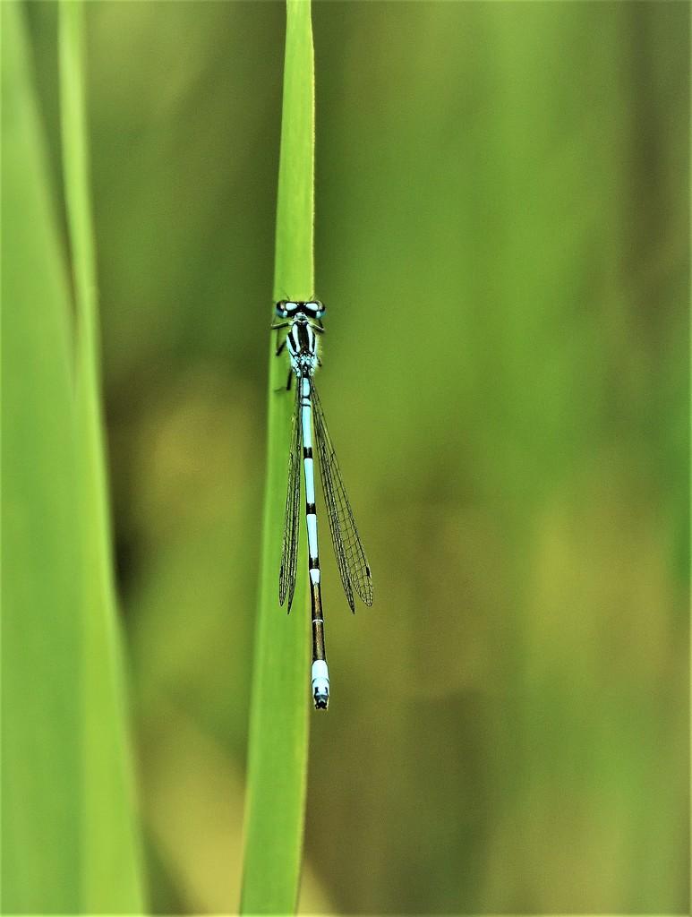 Dragonfly by madeinnl