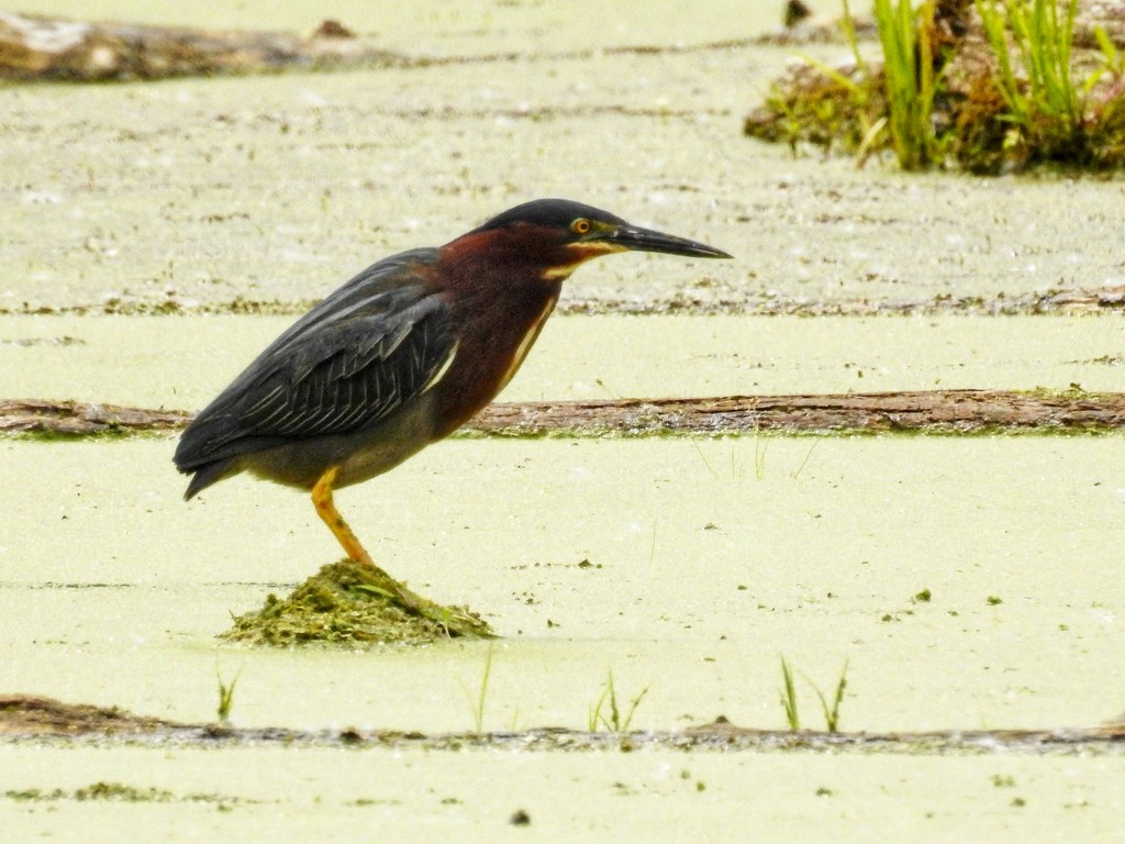 Green heron by amyk