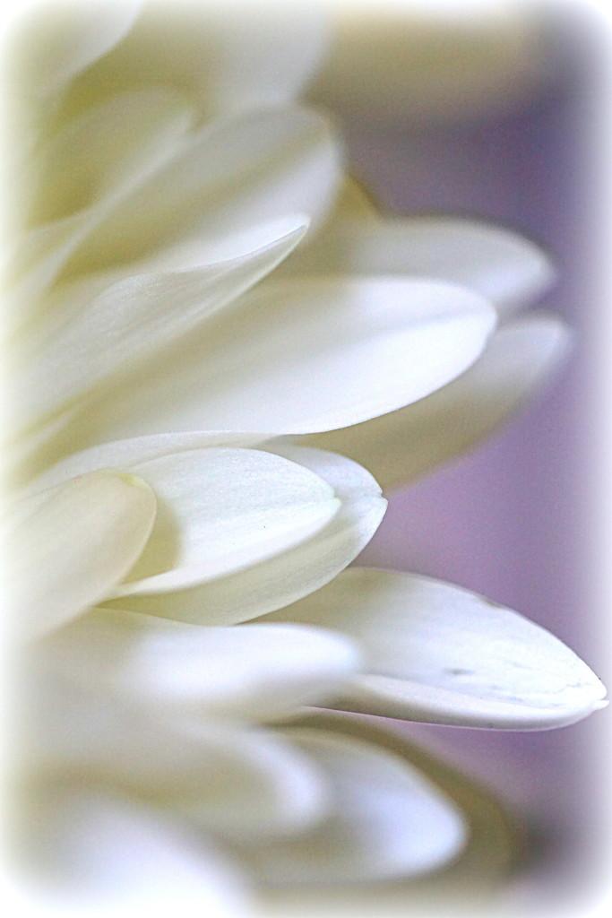 Dreamy Petals by sunnygirl