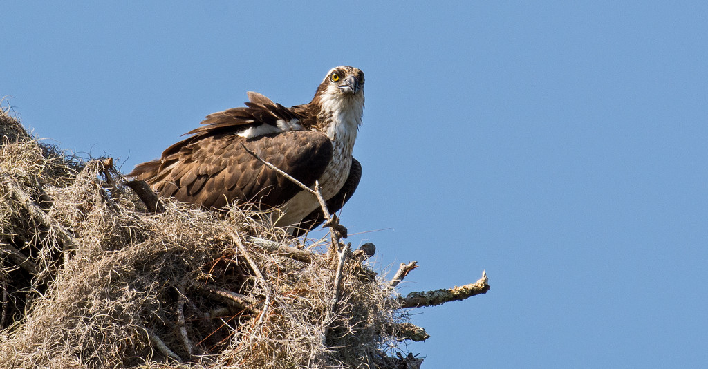 Mom Osprey Begging for Food! by rickster549