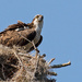 Mom Osprey Begging for Food!