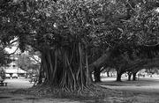 6th Jun 2019 - Morton Bay Fig Tree