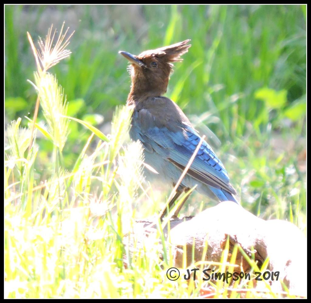 Glaring Steller's Jay...  by soylentgreenpics