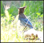 14th Jun 2019 - Glaring Steller's Jay...